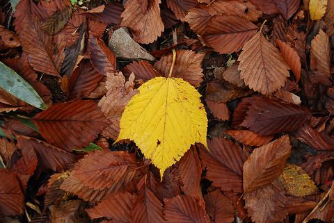 ウリハダカエデの落ち葉