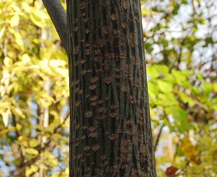 ウリハダカエデの幹の模様