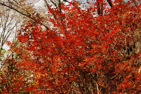 ドウダンツツジの紅葉は