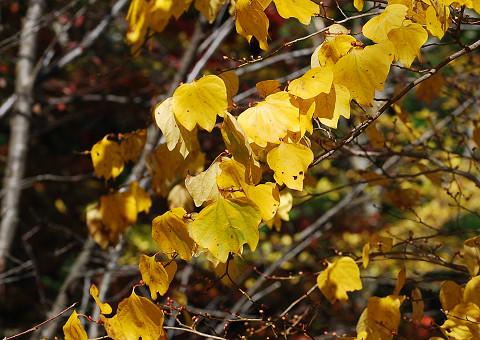 ダンコウバイの葉が
