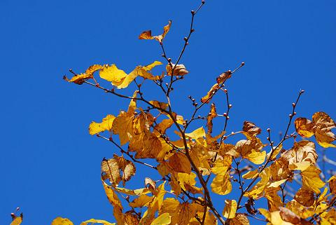 ダンコウバイの葉と空
