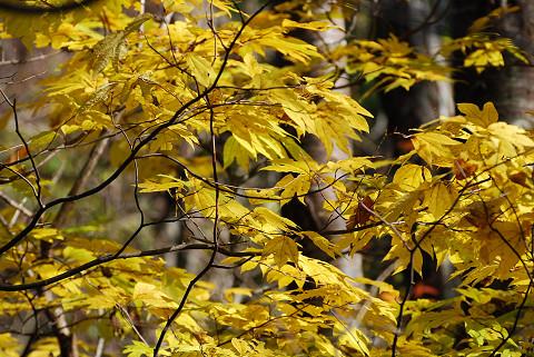 シロモジの黄葉がきれい