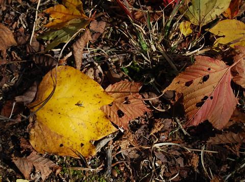 ダンコウバイとシロモジの落ち葉