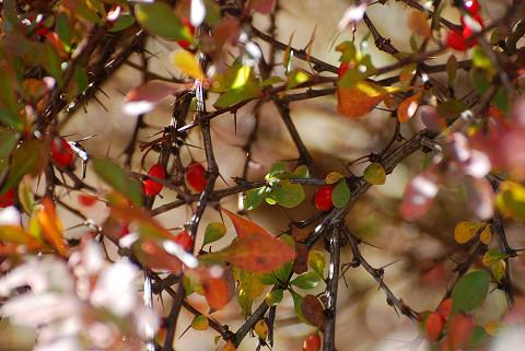 赤い実のメギ