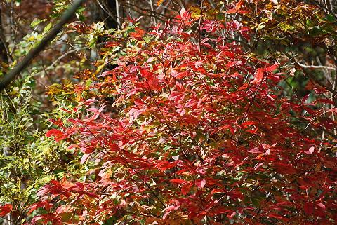 メグスリノキ紅葉1