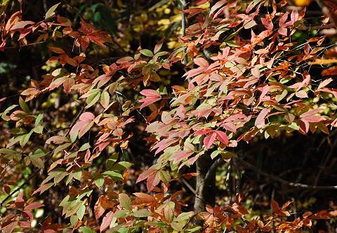 メグスリノキ紅葉2