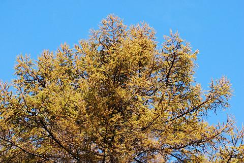 カラマツの黄葉がき