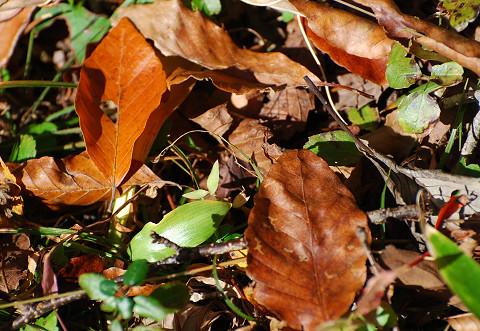 ブナの落ち葉が