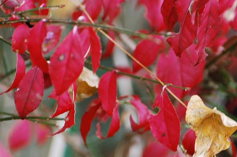 ニシキギが紅葉している1