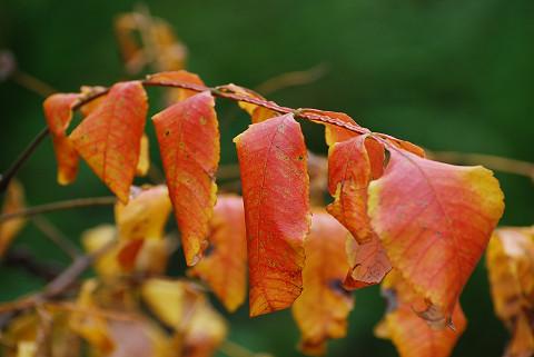 ヌルデの紅葉が