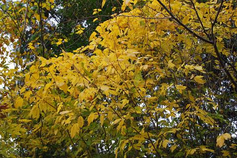 タカノツメの黄葉がきれい1