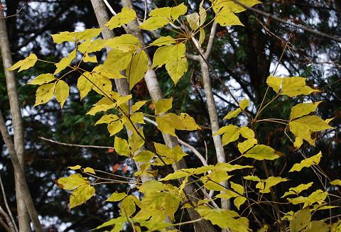タカノツメの黄葉がきれい2