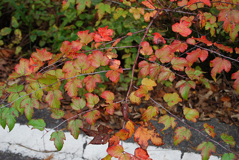 イチゴの葉の紅葉が