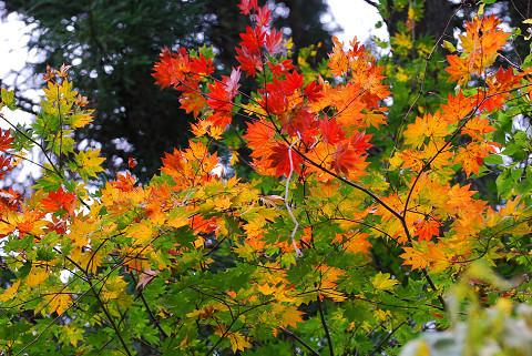 イロハモミジの紅葉がきれいでした