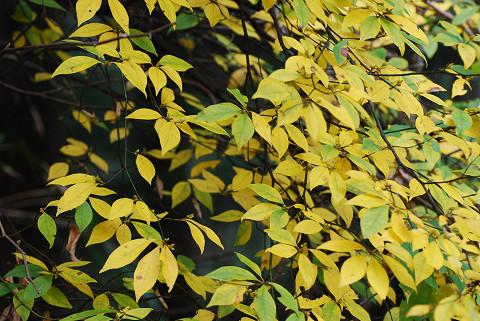 クロモジの黄葉が