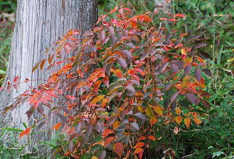ヤマウルシの紅葉が見られた