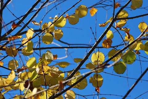 カツラの黄葉が