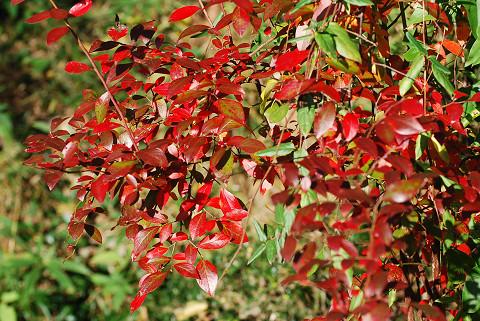 ブルーベリーの紅葉はすごい