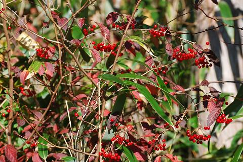 コバノガマズミに赤い実が