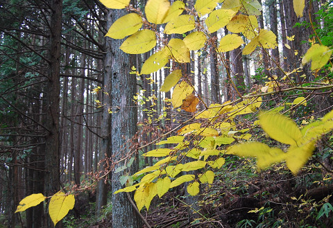 ヒメコウゾの黄葉が