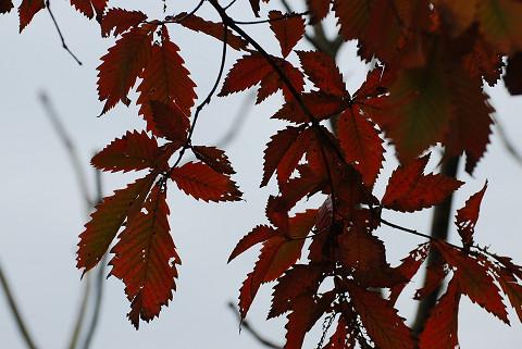 ミズナラの紅葉がきれい