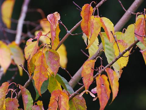 ウリカエデの紅葉が複雑