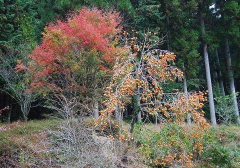 紅葉と柿の実の競演
