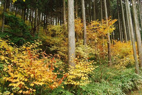 人工林の紅葉