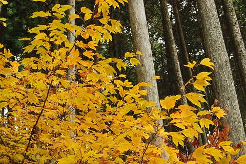 きれいなシロモジの黄葉