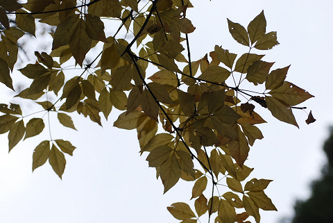 タカノツメの黄葉がきれい3