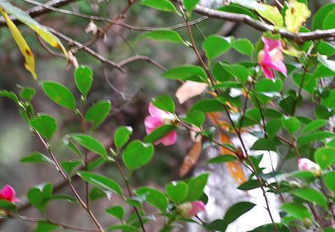 ヤブツバキに花が咲いた