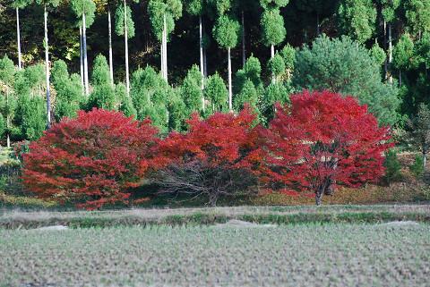 イロハモミジがきれいに紅葉