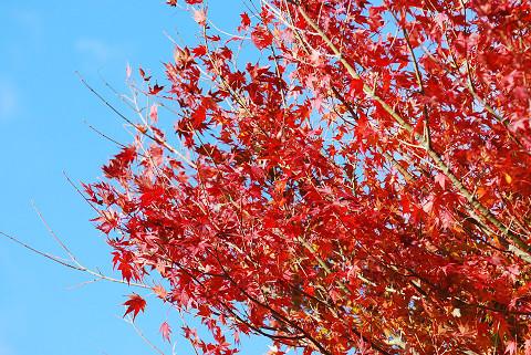 イロハモミジがきれいに紅葉1