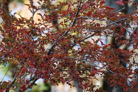 カマツカの紅葉が1