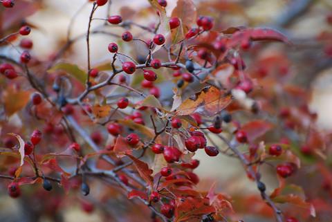 カマツカの紅葉が2
