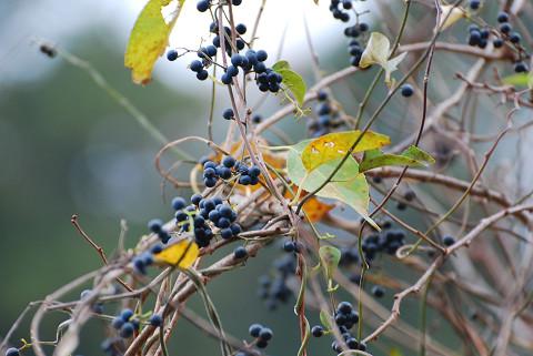 アオツブラフジの黒い実