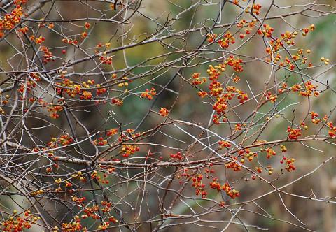 ツルウメモドキのオレンジ色の実は