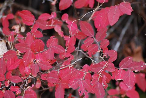 スノキの紅葉が見事
