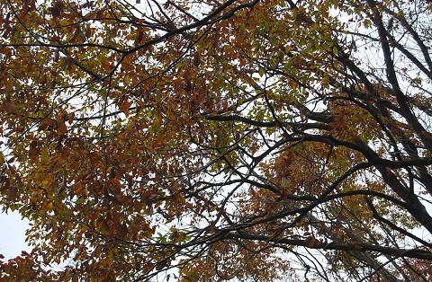 コナラの紅葉が盛り