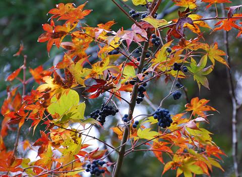 紅葉とアオツブラフジの実