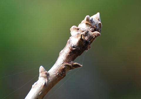 オニグルミの冬芽が