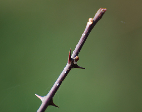 サンショウの冬芽が