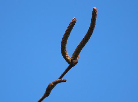 シラカバの冬芽は