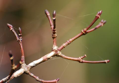 ウリカエデの冬芽がきれい