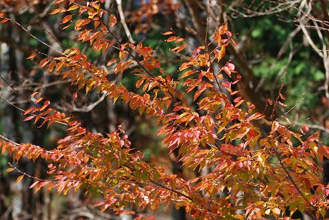 アカシデの紅葉が美しい
