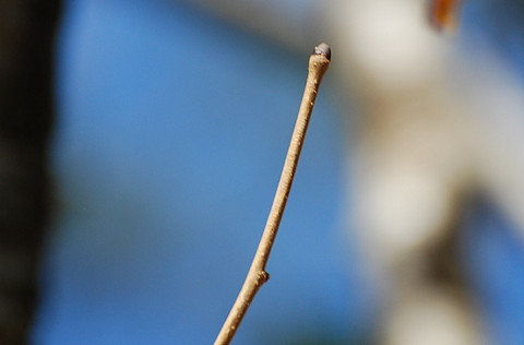 タカノツメの冬芽は