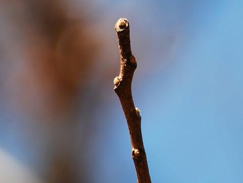 リョウブの冬芽が
