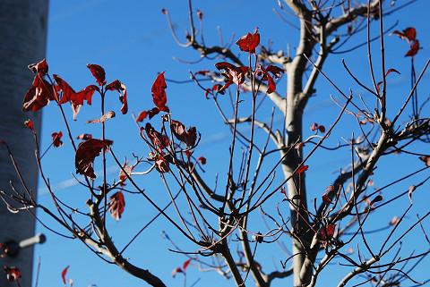 ハナミズキの紅葉が