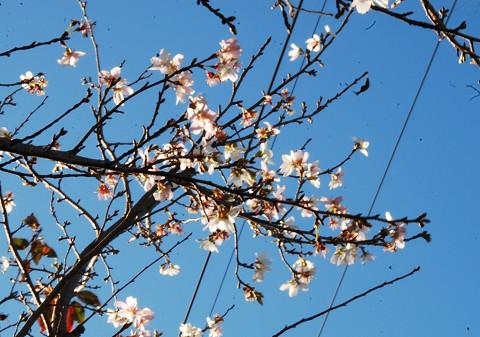 四季桜が咲いていた