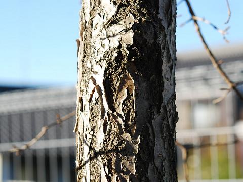 ヒトツバタゴの幹が